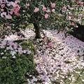 Photos: ピンクの絨毯