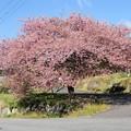 Photos: 一本桜