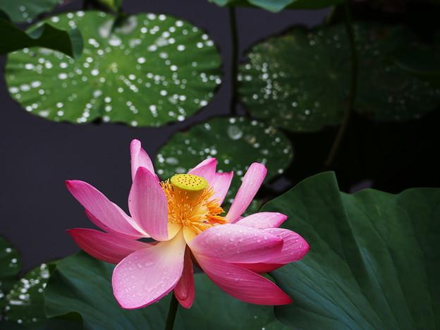 雨上がりの蓮華花