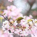 写真: 090304メジロと河津桜2