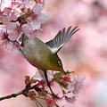写真: 090305メジロと河津桜1