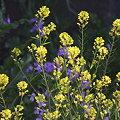 写真: 090409菜の花