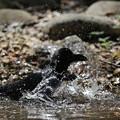 写真: 170414-11カラスの水浴び