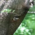 Photos: 170429-23アオゲラの巣穴を占領し続けるムクドリ(1/2)