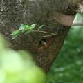 写真: 170503-5巣穴から覗くムクドリ