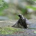 写真: 170506-15水浴びが終わって・コゲラ