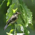 170615-6何かをとったシジュウカラの幼鳥