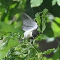 写真: 170616-15シジュウカラの幼鳥