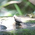 写真: 170616-22コゲラの水浴び