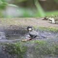 写真: 170618-10シジュウカラの水浴び