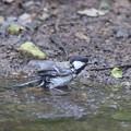 写真: 170619-3シジュウカラの水浴び
