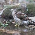 写真: 170716-14水の中のオオタカ・幼鳥