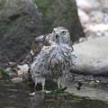 170717-4今日も来てくれました・オオタカの幼鳥