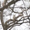 私の野鳥図鑑・110403オオタカ