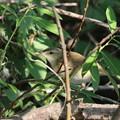 写真: 私の野鳥図鑑・160519-BQ2A0788オオヨシキリ