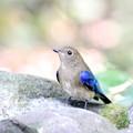 写真: 私の野鳥図鑑・081003-IMG_2276オオルリの♂若