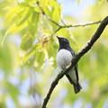 写真: 私の野鳥図鑑・100502オオルリ