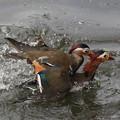 私の野鳥図鑑・080420オシドリの喧嘩(2/6)