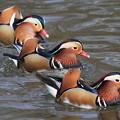 写真: 私の野鳥図鑑・100312-IMG_3742オシドリの三兄弟