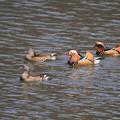 私の野鳥図鑑・100312オシドリ1