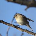 写真: 私の野鳥図鑑・121210-1オジロビタキ