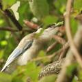私の野鳥図鑑・121016-IMG_4533マツヨイムシ?を捕ったオナガ