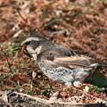 写真: 私の野鳥図鑑(蔵出し)・110113-1ミミズを食べるツグミ
