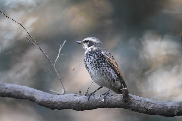 写真: 私の野鳥図鑑(蔵出し)・111217-ペレットを吐き出すツグミ