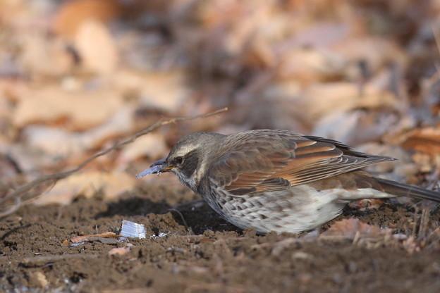 Photos: 私の野鳥図鑑(蔵出し)・120130霜柱を食べるツグミ