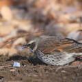 写真: 私の野鳥図鑑(蔵出し)・120130霜柱を食べるツグミ