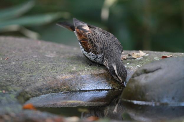 写真: 私の野鳥図鑑(蔵出し)・121125水を飲むツグミ