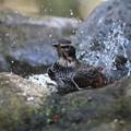 写真: 私の野鳥図鑑(蔵出し)・130108ツグミの水浴び