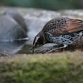 写真: 私の野鳥図鑑(蔵出し)・130113-IMG_2706水を飲むツグミ