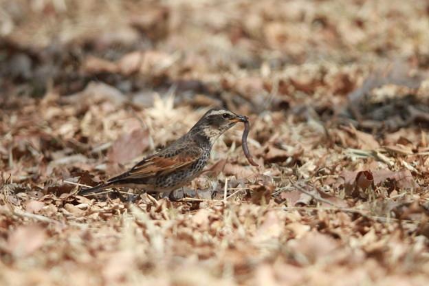写真: 私の野鳥図鑑(蔵出し)・140317ツグミの食事