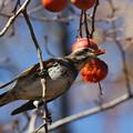 写真: 私の野鳥図鑑(蔵出し)・141215ツグミの食事