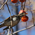 Photos: 私の野鳥図鑑(蔵出し)・141215ツグミの食事