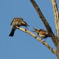 写真: 私の野鳥図鑑(蔵出し)・161120ツグミの喧嘩