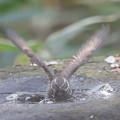 写真: 私の野鳥図鑑(蔵出し)・161219ツグミの水浴び