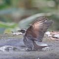 写真: 私の野鳥図鑑(蔵出し)・161219-BQ2A9808ツグミの水浴び