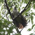 私の野鳥図鑑(蔵出し)・100915-IMG_9367ツツドリの尾羽