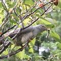 写真: 私の野鳥図鑑(蔵出し)・110919-IMG_7904毛虫を捕ったツツドリ