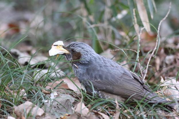 180213-2ツバキの花びらを食べるヒヨドリ(1/3)