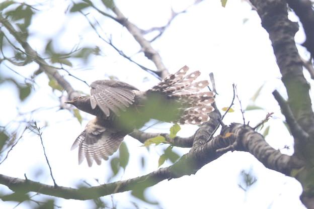 私の野鳥図鑑(蔵出し)・140930-5ツツドリの飛翔(2/2)