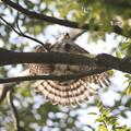 写真: 私の野鳥図鑑(蔵出し)・120110ツミの尾羽