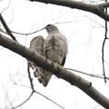 写真: 私の野鳥図鑑(蔵出し)・120307ツミ♀