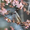 180224-7河津桜とヒヨドリ