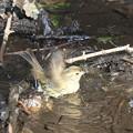 写真: 180224-22アオジ♀の水浴び