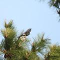 写真: 私の野鳥図鑑(蔵出し)・120413ツミの巣作り・巣でお花見?