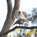 写真: 私の野鳥図鑑(蔵出し)・120418ツミの交尾