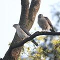 私の野鳥図鑑(蔵出し)・120418ツミのご夫婦・左旦那さん 右奥さん